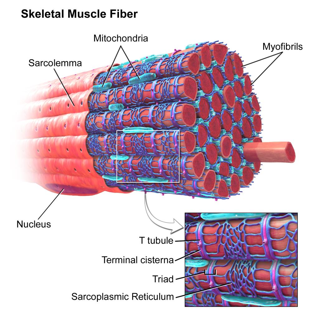 Skeletal Muscle Fibers | Image Courtesy of Wikipedia